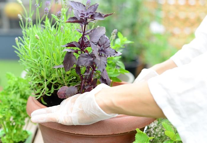苗が美しく見える向きを考えながら植えていきます。
