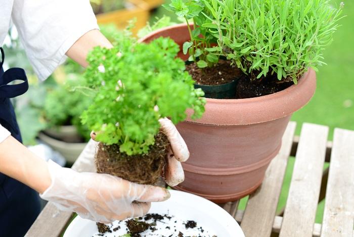 次にパセリの苗を右側に植えていきます。
