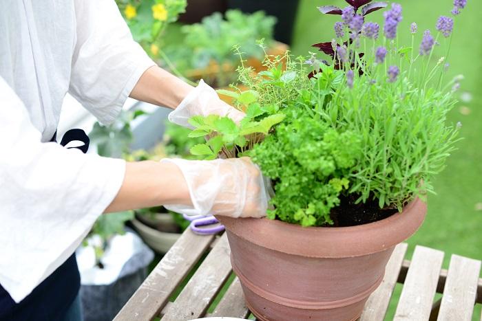 最後に、ワイルドストロベリーの苗を手前に植えます。