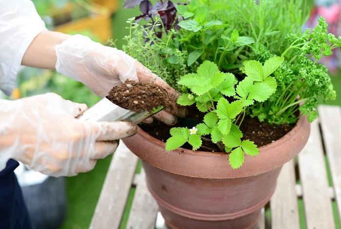 苗と苗の隙間に、鉢の外側1周土を入れていきます。指で土をつっつきながらしっかりと入れましょう。 真ん中の苗と苗の間にも土を入れます。  水やりをする時に水が流れ出ないようにするため、ウォータースペースをとります。 土は、鉢のふちから2㎝ほど下げたところまでにおさめましょう。