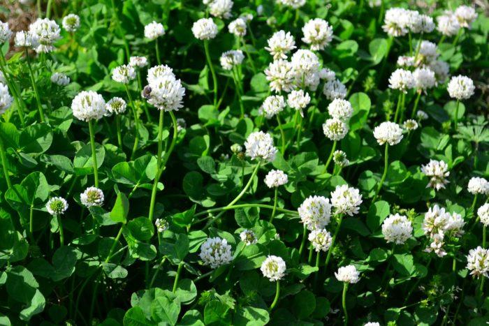日本で最もよく目にするシロツメクサは、3つの小葉からなる濃い緑色の葉の間からボール状の花を咲かせます。白い集合花で冬に地上部が枯れますが春に茎葉が伸びてくると鮮やかです。牧草のほか公園や河川敷きなどで芝生の代わりに使われることもあります。丈夫でよく育ちますが暑さには弱いです。