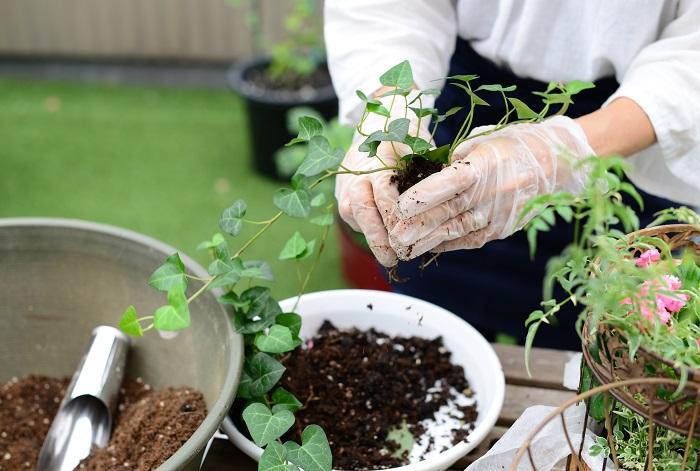 アイビーの土の部分を少しふるい落とし、コンパクトにして先に植えた3つの苗の間に3か所植えていきます。
