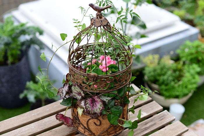 鳥かごを閉めて、レックスベゴニアの葉を鳥かごの外側に出します。茎が折れやすいので注意しましょう。 アイビー、ハゴロモジャスミンの茎葉も鳥かごの外側に出し、茎葉で美しい流れをつくるように鳥かごに絡ませます。  完成したら、鳥かごの底から流れ出るくらいたっぷりのお水を株元からあげます。