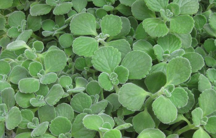 古来より、人々は身近な植物の持つ様々な力を暮らしの中に取り入れてきました。薬やもく浴、染色や防虫、防臭、殺菌など、野草を幅広く利用する工夫が重ねられてきたのです。  今日では、「ハーブ」という言葉は、「暮らしに役立つ香りのある植物」を総称する言葉として使われています。  ハーブは主に温帯に生育する植物で、それぞれの植物によって葉や茎、つぼみ、花、根などが使われます。  料理、お茶、クラフト、アロマ、ハーブバスなどのリラクゼーションや美容などにも利用されています。