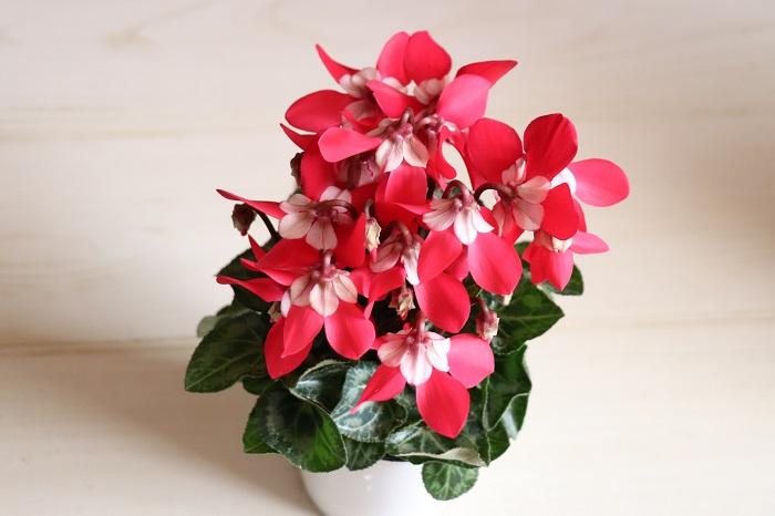 ガーデンシクラメン ジックス  傘咲きの小型品種で花数がたくさん。ガクが大きく装飾的で美しく、花もちが良いです。  日あたりを好みます。耐寒性があり、霜にあたらなければ冬も外で楽しめます。