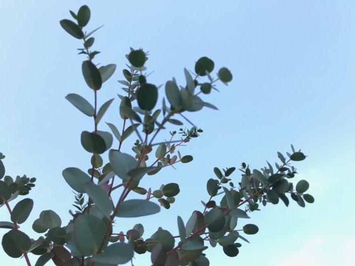 ユーカリはフトモモ科のユーカリ属の植物。自生地では大きく育つ常緑高木です。種類も丸葉のポポラスや銀世界、他にもレモンユーカリなど様々。葉には香りがあり、ユーカリの揮発成分には強い抗菌・抗ウイルス作用があり、細菌やウイルスの繁殖や活動を抑え、空気を浄化してくれます。アロマテラピーにも使用されていて虫除けなどにもよいです。スッキリとした香りは集中力を高めてくれます。