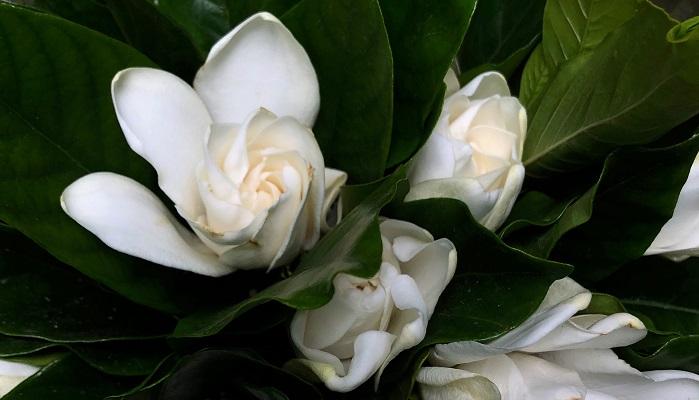 香りがよく、日本三大香木のひとつでもある梔子は夏に開花します。  驟雨くる くちなしの香を 踏みにじり  木下夕爾  驟雨(しゅうう)はにわか雨のようにざっと降ってさっとあがる雨のことです。くちなしの香が豊かに香っていたところで驟雨に打たれて、香りが立ち消えてしまったことを雨が踏みにじったと表現しているのが素敵です。  南天の花