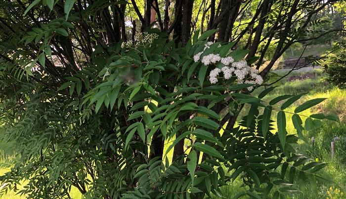 南天は白い細かい花をたくさん円錐状につけます。  南天の 花に飛び込む 雨宿り 飴山実  急に雨が降ってきて、道端の南天の木で雨宿りをする句ですが、南天の花がちょうど顔の高さだったのでまるで花に飛び込むような感じになったんですね。