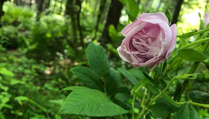 薔薇は現在の春の開花が俳句の季節では夏の季語として考えられています。  バラ散るや 己がくずれし 音の中 中村汀女  薔薇の堂々としたイメージに自らを投影して保っていた気持ちが、バラが散っていくことで自らも崩れてしまうような気持ちを詠んだ句です。  見るうちに 薔薇たわたわと 散り積もる 高浜虚子  バラの花びらは散りだすとみているうちに花びらがおちていく様子を詠んだ句です。たわたわと、という表現が面白い句です。