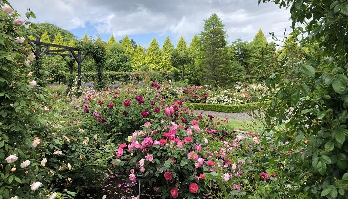 エントランスから入って左手に進み、橋を渡るとイングリッシュローズを中心とした160種、600株のバラが植えられているイングリッシュローズガーデンがあります。
