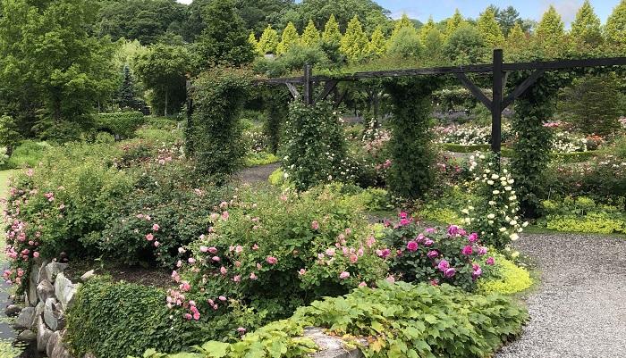 パーゴラのバラもつぼみをたくさんつけ、これから徐々に開花していく様子がうかがえました。