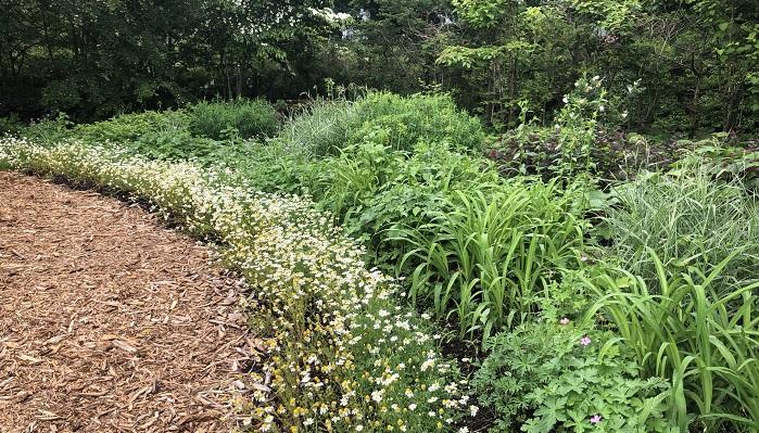 グラス類や宿根草で美しい池の周りの道は、キク科のお花で区切られています。