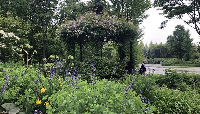 奥のガゼボには薔薇がからみつき、咲き始めていました。手前の紫の花がムラサキセンダイハギ。群青に近い紫の花や萩より大きい丸い葉がきれいです。