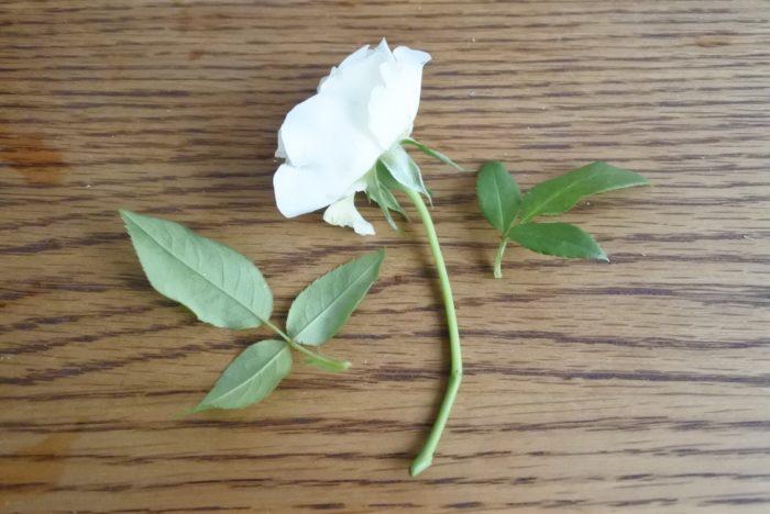 バラも葉を取ってから斜めにカットしましょう。