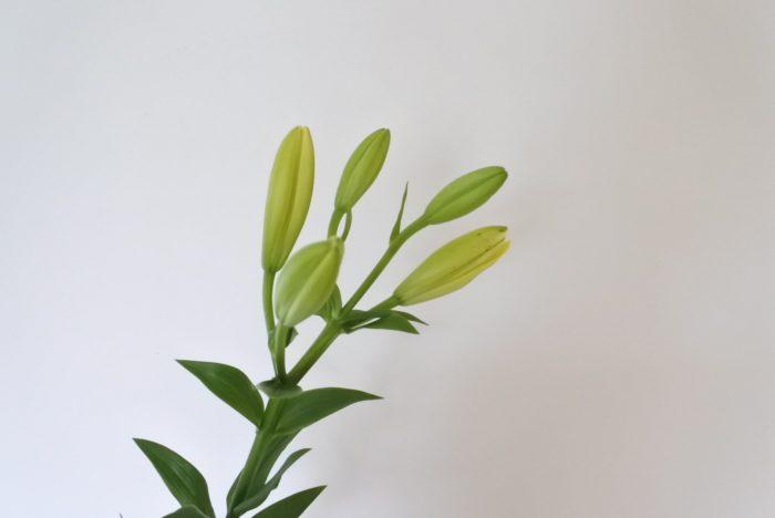 ユリは下の花から咲いていきます。蕾から徐々に色づきながら膨らみ、下の方の大きい蕾は1~2日、上の方の蕾は1週間程で開花します。気温が高いほど早く開花しますよ。蕾が乾燥すると開けなくなってしまうため、エアコンの風などは当てないように注意しましょう。一番上、上から二番目くらいまでの蕾は咲かない場合もありますが、葉や花ガラは取り除き、花瓶の水を清潔に保つと上の方の蕾も開きやすくなります。