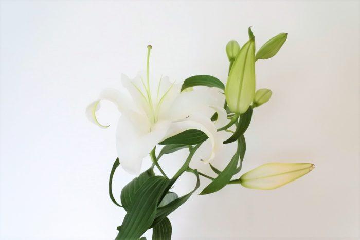 カサブランカ  純白の大輪で香りも良く、白いユリといえばこれ!というような人気の品種です。花が上向きではなくやや俯き気味に咲きます。