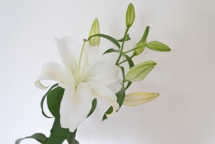 立ち姿が華やかでボリュームもあることから花束などにおすすめです。ヒマワリとの相性もいいので組み合わせて花束にしてもいいですね。