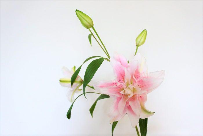 イザベラ  八重咲きのユリは置いてある花屋が少ないので、見つけたら手に取ってみたいユリの一つです。カサブランカやソルボンヌより小さめの花なので他の花とも合わせやすいです。