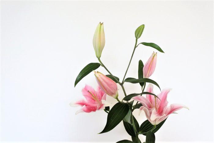 ソルボンヌ  大輪の花と鮮やかなピンクが美しいユリです。香りはありますがカサブランカに比べるとやや弱くスッキリとしています。