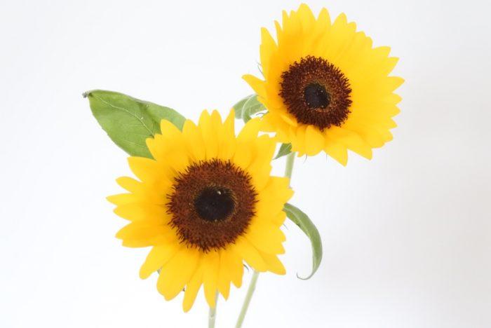 黄色い花の代表格で男性からの知名度も高く、太陽など明るいものを連想させるヒマワリは父の日の贈り物にとても人気があります。また花言葉も「憧れ」「あなただけを見つめる」などポジティブなので、花言葉を気にされる方にもおすすめです。