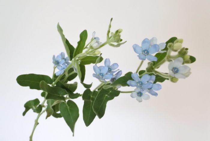学名…Tweedia caerulea  別名…ルリトウワタ(瑠璃唐綿)  科、属名…ガガイモ科(キョウチクトウ科)、トゥイーディア属  分類…草花/多年草  原産地…ブラジル、ウルグアイ  開花期…5~10月  花色…青、白、ピンク  花言葉…「幸福な愛」「信じあう心」  ブルースターのような鮮やかな水色の花は他にあまりないので、お花屋さんに並んでいると目を引きますね。白や紫などの涼し気な色はもちろん、黄色やオレンジのビタミンカラー、またはピンクや淡い色のかわいらしい色の花と組み合わせてもお互いを引き立て合い、合わせる花や色によってイメージを変えるところも魅力のひとつです。