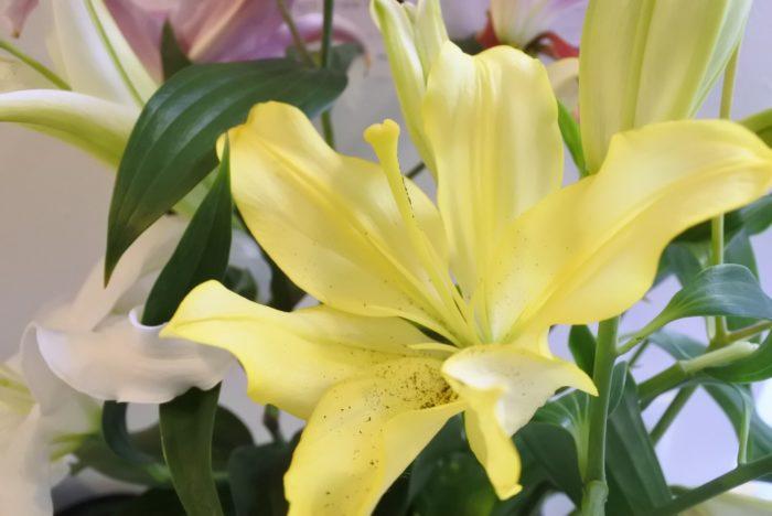 完全に開くと大きいですね。こちらは花粉を取り除くタイミングが遅かったため花弁に花粉が花弁に落ちてしまいましたが、イエローウィンは斑点などがない黄色いユリです。