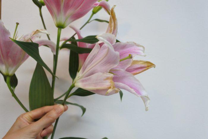 終わった花は付け根からカットすると、他の花や蕾に水やエネルギーを送れるため、上の方の花まで開きやすくなります。※こちらの花はソルボンヌです。