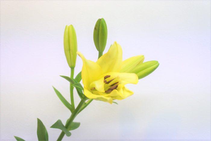イエローウィン  鮮やかな色で香りもあり、黄色いオリエンタル系のユリの代表格です。ユリというと白い花を想像する方が多いですが、ピンク、黄色やオレンジ、黒っぽい花など様々な色があります。