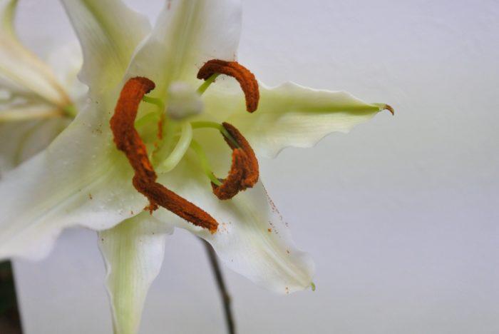 花粉が開いてしまうとこのように粉が出てきて、花弁や手、周りを汚してしまうこともあります。花粉がないと見た目は少し寂しくなってしまうのでお好みもありますが、花粉がテーブルや服、手についてしまうと取りにくいため、理由がなければ取り除くことをおすすめします。