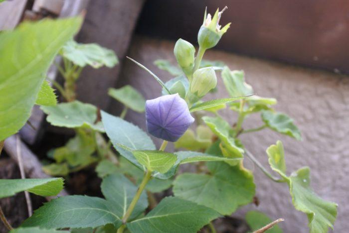 蕾も五角形をしていて、割けるように花が咲きます。膨らんで色づいた蕾は、切花であっても開くことが多いですよ。風船のような見た目から、バルーンフラワーという英名がついています。蕾をポイントに使っても、開いている星形の花を使っても、どちらもかわいいですね。