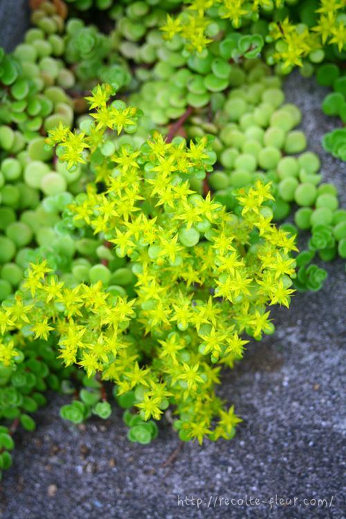 花の時期は地面一面がひときわ華やかなグランドカバーになります。
