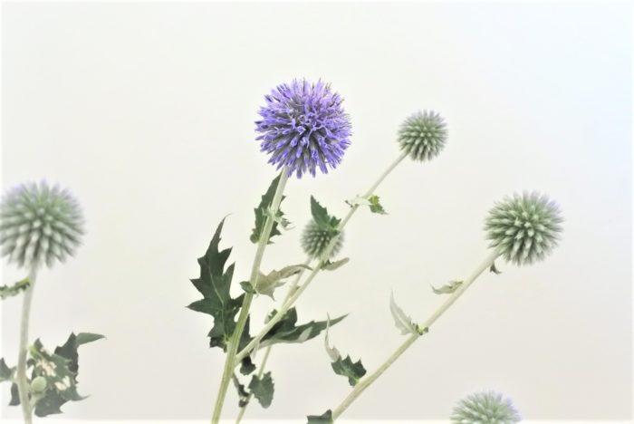 学名…Echinops ritro  別名…エキノプス  科、属名…キク科、ヒゴタイ属  分類…草花/多年草  原産地…地中海沿岸~西アジア  開花期…7~9月  花色…青紫、紫、白  花言葉…「鋭敏」「傷つく心」
