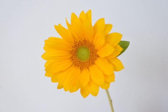 ビンセントクリアオレンジ  ビンセントシリーズで「クリア」とついているものは芯の部分が黄緑です。芯が黄緑だと明るく爽やかな印象になりますね。芯が黒いものより花弁とのコントラストが小さいので、本数を多く使っても優しい印象になります。