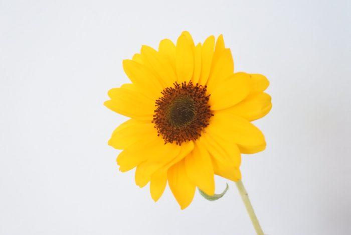 サンリッチバレンシア  サンリッチバレンシアはサンリッチシリーズの中で一番濃いオレンジです。7~8センチの小さめの花ですが、真っ赤など強い色の花と組み合わせても負けない存在感があります。