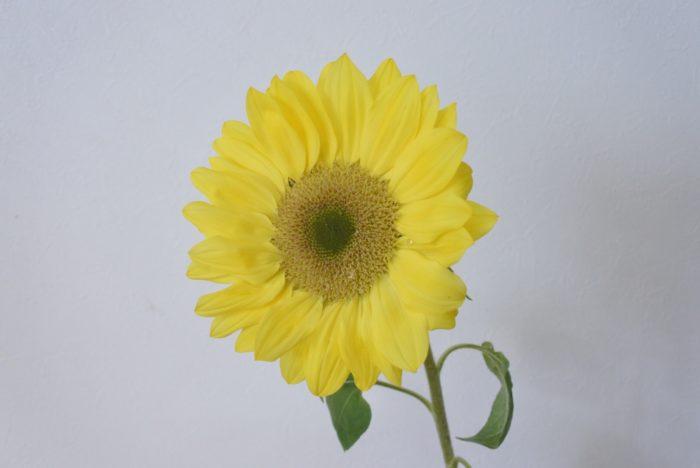 ビンセントクリアレモン  名前のイメージ通り、花弁がオレンジではなくレモンイエローです。クリアとつくので芯が黒ではなく黄緑ですね。オレンジの花弁よりさらに芯とのコントラストが小さく、柔らかい印象になります。