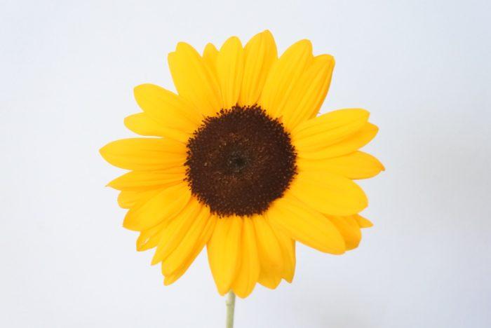 ビンセントネーブル  濃いオレンジの花弁に黒い芯の、ヒマワリらしいヒマワリです。花も切花にしてはやや大きめの10~12センチ程あります。ヒマワリを主役にして、存在感、ボリュームを出したい時におすすめの品種です。