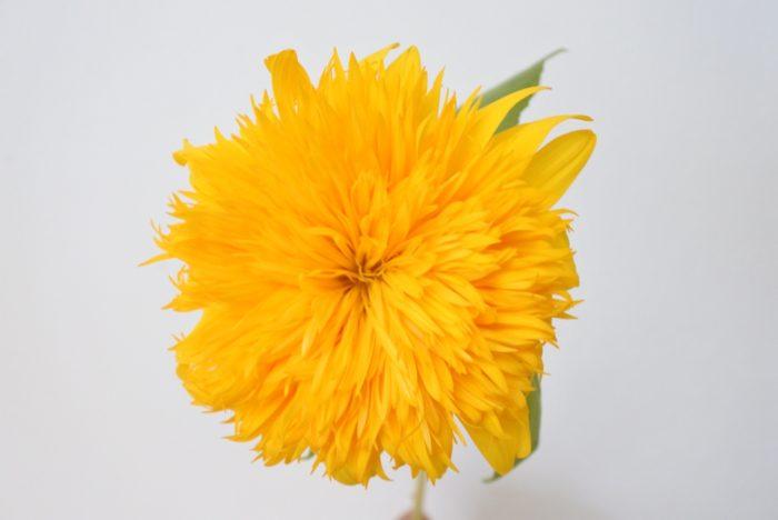 東北八重  東北地方のヒマワリではなく、社名からつけられた名前です。八重咲きの細くモコモコとした明るいオレンジの花弁で、明るい色の花材と組み合わせるとフレッシュなイメージになります。
