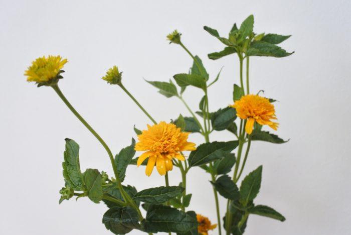 旭  ヒメヒマワリ属というものもありますが、通常姫ヒマワリの名で切花で出回っている旭などは、実はキクイモモドキ属(ヘリオプシス属)という属性です。  旭は花の直径が3センチ程なので、小さめのアレンジメントやブーケのポイントにも使われます。ドライにしても綺麗に色が残りやすいですよ。ドライにするときは風通しが良く、直射日光が当たらない所に逆さに吊るしましょう。  目次に