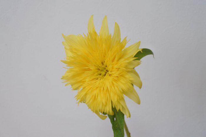 レモネード  名前のとおり爽やかなレモン色なので、白や水色、黄緑の花材とよく合います。繊細な花弁なので、同じく薄く繊細な花弁の花とふんわりまとめたアレンジにするのがおすすめです。