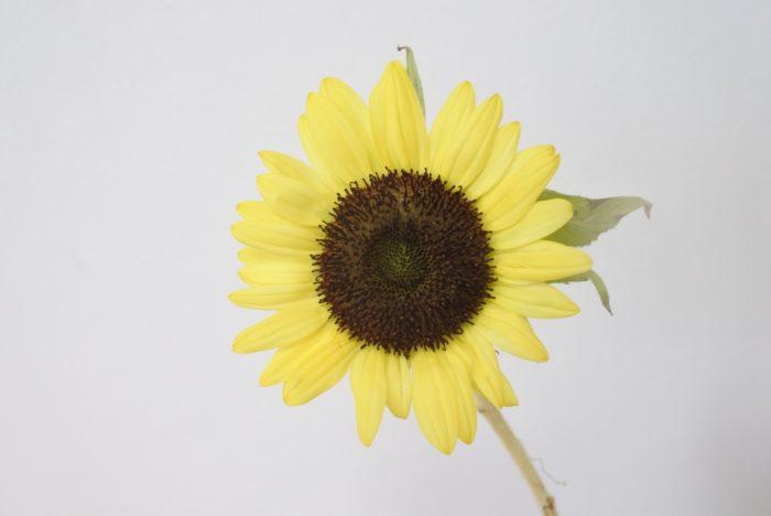 サンリッチレモン  レモン色の花弁は爽やかさがあり、オレンジ系の花と合わせるのはもちろん、青系の花と合わせるのもおすすめです。