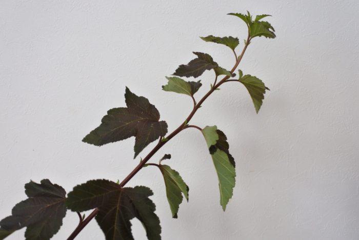 ディアボロ  表は赤みの入った深い緑、裏はスモーキーな緑とコントラストのある美しい葉です。