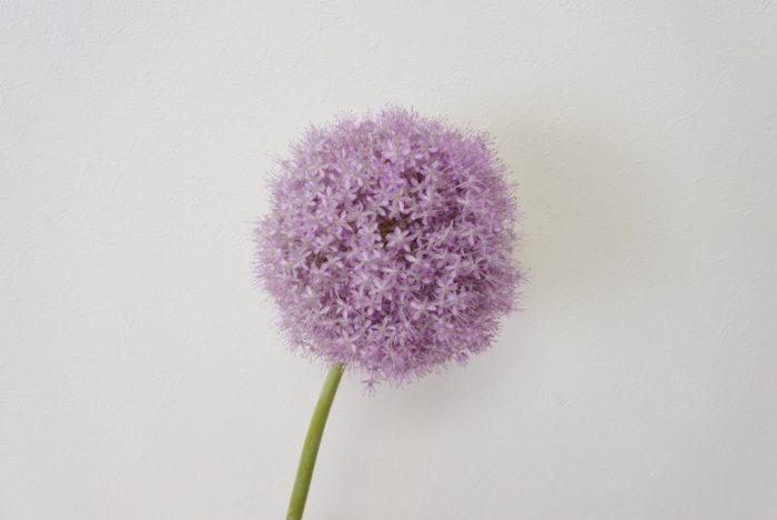 学名…Allium giganteum  別名…花ネギ、ネギ坊主  科、属名…ネギ科(ヒガンバナ科、ユリ科)、ネギ属(アリウム属)  分類…草花/多年草  原産地…ヨーロッパ、アフリカ、アメリカ  開花期…5月~6月  花色…ピンク、紫、青、白など  花言葉…「深い悲しみ」「正しい主張」
