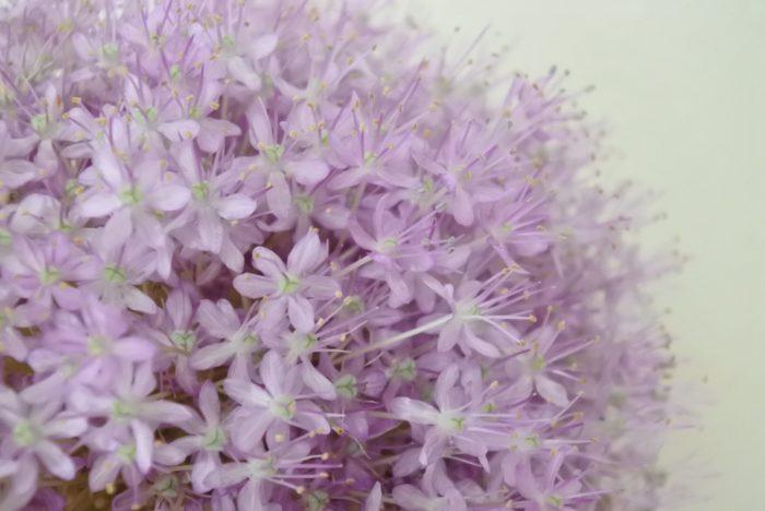 にはない、10センチ以上にもなる大きくてふわふわした個性的な花穂が魅力ですね。よく見ると小さな花一つ一つが星形をしています。  学名のアリウム・ギガンチウム(Allium giganteum)は、ラテン語でアリウム=「ニンニク」、ギガンチウム=「巨大な」の意味で、その名の通りニンニクと同じネギ属、球状の花穂を持ちます。  蕾が次々咲くので長い期間楽しめます。しぼんだ花は取り除いた方が見た目がよくなります。 花穂同士がくっついた状態で蕾が開くと、マジックテープのように絡まり離れなくなってしまうので、花穂同士は離して生けるようにしましょう。  アリウムは水の吸い上げがいいので、茎が長い場合でも5センチ程度の浅めの水に生けましょう。頭が大きく倒れやすいので、重さや安定感のある花瓶に生けます。
