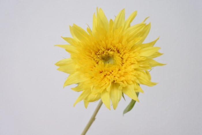モネのヒマワリ  淡い色と柔らかい花弁が、印象派を代表する画家のモネらしい雰囲気ですね。モネが描いた花と言えばスイレンが有名ですが、ひまわりや他の花の絵もたくさん描いています。