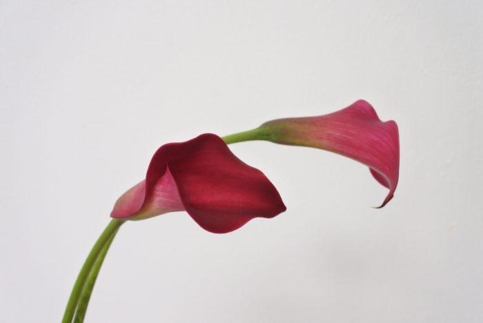 カラー  カラーは様々な色がありますが、こちらはキャプテンシドニーという深い赤が美しい品種です。