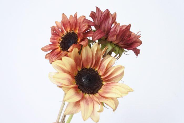 赤や茶系のヒマワリは、個性的な花や実ものと合わせるのがおすすめです。赤みがある葉ものも混ぜるとまとまりやすいですよ。