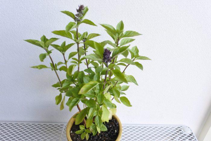 バジル  バジルの香り成分は蚊やハエを避けると言われています。お料理で余ったバジルを使ってもいいですね。