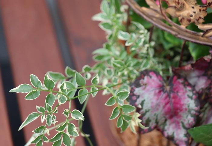 八重咲きベゴニア、レックスベゴニアは寒さに弱く、ハゴロモジャスミンはやや寒さに弱い性質です。10℃以下になったら室内に移動して明るい窓辺に置いて育てると、来年も楽しむことができます。 そして、今回一緒に植えたアイビーは室内の明るい場所でも育てる事ができるので、寒くなる頃に鳥かご全体を室内に移動することをおすすめします。  暖房の風が直接あたると弱るので気をつけましょう。冬の水やりは、乾いたらたっぷり日中の暖かい時間に行いましょう。 鳥かごを室内に置く時は、水が流れ出ないように受け皿が必要です。園芸用の受け皿が無い場合は、使わないお皿を園芸用として使ってもいいですね。