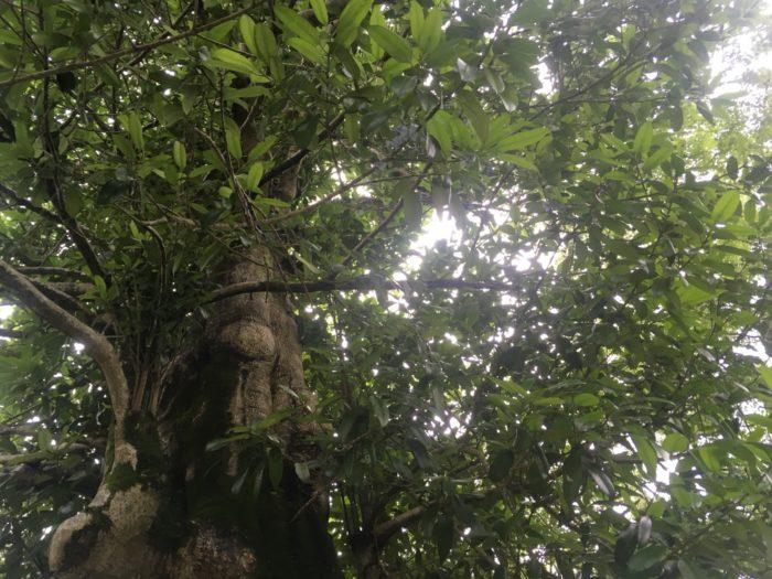 ■和名 多羅葉(たらよう)  ■学名 Ilex latifolia  ■属性 もちのき科もちのき属  ■常緑高木  幹の高さは10m程に高くなる常緑高木です、花の時期は4月~5月に淡い黄色の花を咲かせます。多羅葉の葉は肉厚で2o㎝程の長細い楕円型をしていて葉の縁は小さなギザギザが付いています。木の葉の裏は傷つけると短い時間で黒く変色してくっきりと浮き出る性質があります。  秋には8mm程の丸い赤い実が実ります。