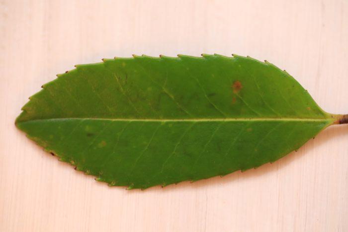 葉書の始まりは「多羅葉(たらよう)」という樹木の葉の裏に傷をつけて言葉を書き、日本では平安時代に相手に渡して伝えた事が始まりと言われています。  木の葉を手にして文字を書き記す、、、イメージするだけでも素敵な光景ですね。  葉に傷をつけて文字を残すだけならば、他の葉でもいいのでは?とも思ってしまいますが、実は多羅葉(たらよう)の葉は特別な成分を含む為、傷をつけると短い時間で色が黒く変色し、すぐに文字が浮かび上がる特性とその文字が消えずに長く残る性質から言葉を保存する葉として選ばれる様になりました。  それから、説明の中に先ほどから出てくる「言葉」という文字は口に出して言った事を葉(多羅葉)に書き記した事から生まれた様子を表し名づけられました。  ということは「言葉」の葉も多羅葉の葉という事になりますね。  日本語って一つ一つに絵画の様に美しい景色が浮かび上がってきませんか?植物が由来の素敵な言葉は他にも沢山あります。  お気に入りのエピソードを探してみても楽しいですね。